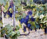 Filare di uva