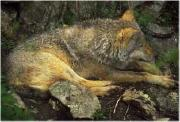 il lupo del Subasio